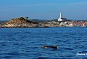 Rovinj and swimming dolphins
